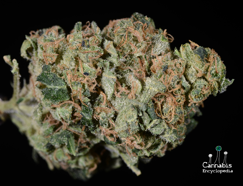 Sour Diesel from Canna Meds Wellness