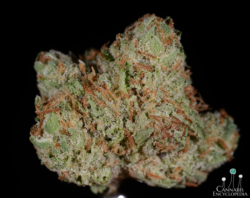 Bubba Kush from Chronic Therapy