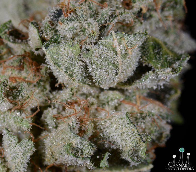 Gorilla Glue from CannaMeds